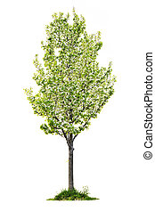 Isolated flowering pear tree - Single young flowering pear...