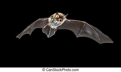 Flying Rare Natterer's bat (Myotis nattereri) at night with distinctive white belly on black background
