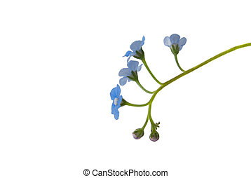 Close up of an isolated sprig of forget-me-not flower