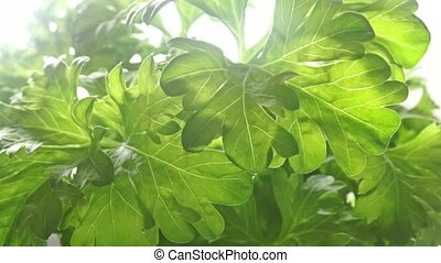 Isolated fresh parsley leaves against bright white...