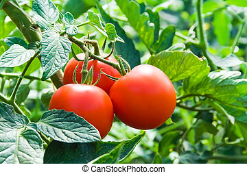 Isolated growing three fresh red tomatoes with green leaves