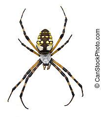 Isolated Garden Spider - A macro of a big garden spider
