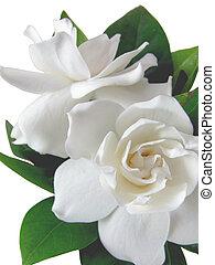 Macro photo of two gardenia's isolated on white background