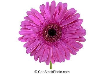 Isolated Gerbera - An isolation of a purple/ pink daisy