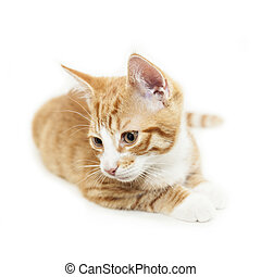 Isolated ginger kitten