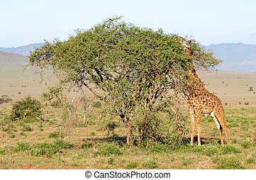 Isolated giraffe pulling tongue in Tsavo West Park in Kenya