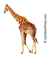 Isolated giraffe - Walking giraffe isolated on white
