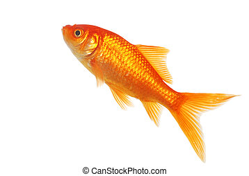 isolated gold fish