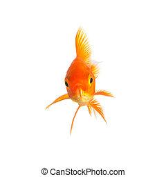 isolated goldfish - A goldfish isolated on white background...