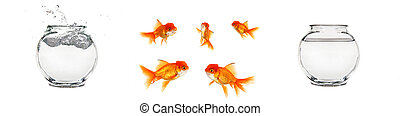 Isolated Goldfish and Bowls - Various Isolated Goldfish...