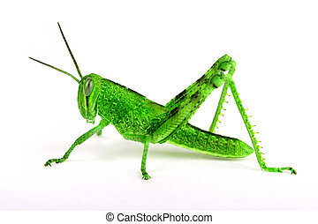 Isolated green grasshopper, sideview