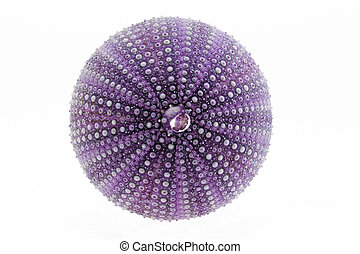 isolated great skeleton of sea shell violet  echinoidea - macro