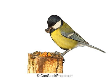 isolated great tit at bird feeder