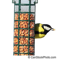 isolated great tit eating nut