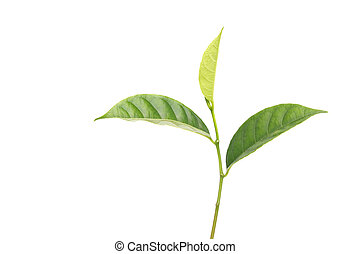 Isolated green leaf of tree
