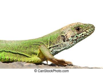 isolated green lizard