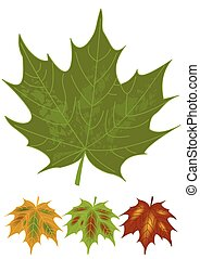 Isolated green maple leaf and multicolored autumn leaves...