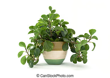 Isolated green plant in flowerpot
