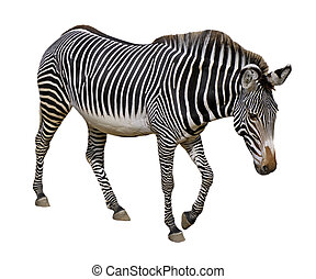 Isolated Grevy zebra - Grevy zebra (Equus grevyi) walking...