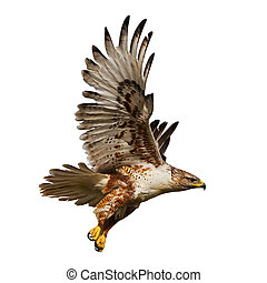 Isolated hawk in flight - Large Hawk in flight isolated on a...
