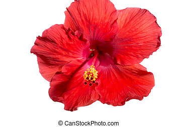 Isolated Hibiscus Flower on White Background