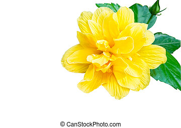 Isolated Hibiscus , Yellow flower on white background