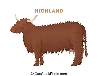 Isolated highland cow.
