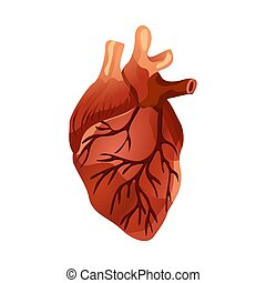 Isolated Human heart. Muscular organ in humans and animals, ...