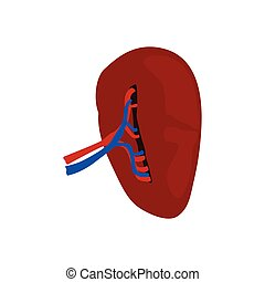 Isolated human kidney
