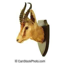 isolated hunting trophy of Antidorcas marsupialis - hunting...