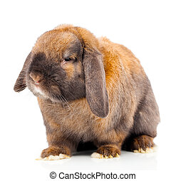 Isolated image of a brown rabbit.