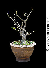 Impala Lily Adenium