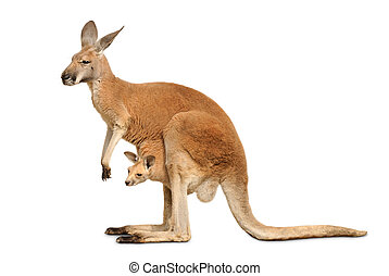 Isolated kangaroo with cute Joey - Red kangaroo carrying a...