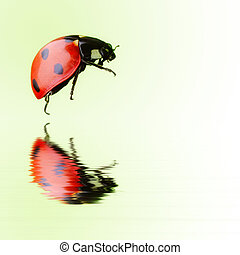 Isolated ladybird over water - Colorful real ladybird...