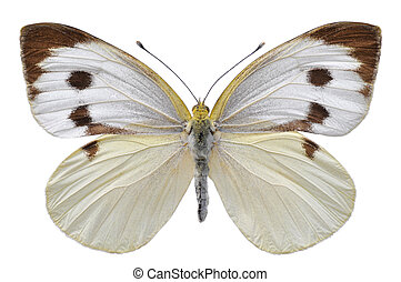 Isolated Large White butterfly - Large white butterfly, also...