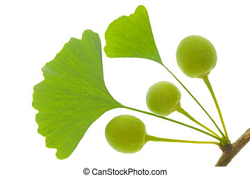 ginkgo tree - isolated leaf of ginkgo tree