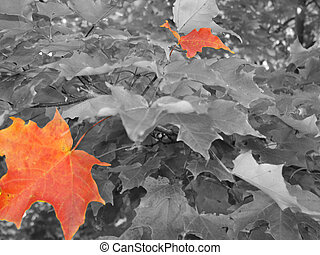 Isolated Leaves - black and white of fall trees with the odd...