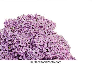 Isolated lilac bush