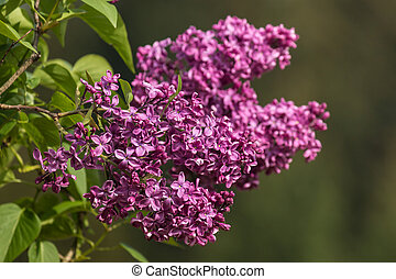 lilac flowers in bloom