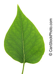 Isolated Lilac Leaf