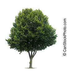 Isolated lime tree
