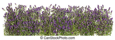 Isolated line of Oregano - The big isolated line of a summer...