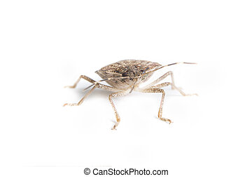 Isolated living brown marmorated stink bug