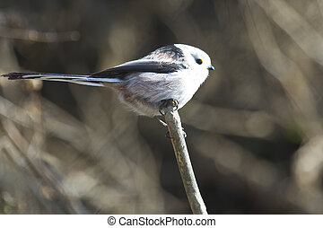 Isolated long tailed tit