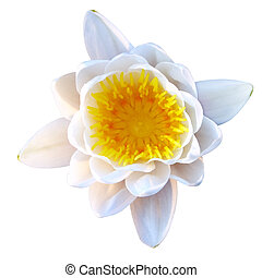 Isolated lotus