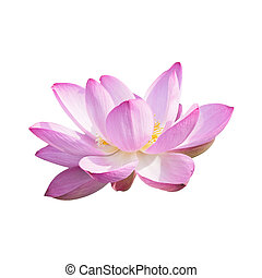 Isolated Lotus with a clipping path
