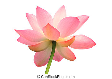 Isolated lotus with path