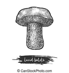 Isolated lurid bolete or forest mushroom sketching, icon of wood fungus. Hand drawn fungi icon for botany or biology vector illustration. Cartoon vegan and vegetarian food. Organic meal and nature