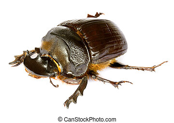 Dung Beetle - Isolated macro image of a large Dung Beetle,...