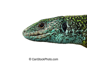 isolated macro view of male head Lacerta viridis, the...